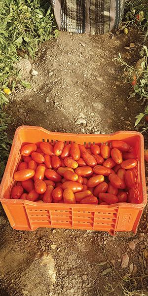 tomates-qualites-tunisie